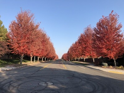 Red Sunset® Maple Tree