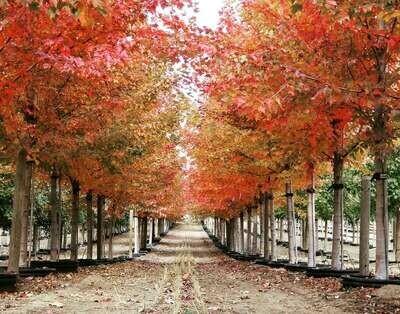 Sun Valley Maple Tree