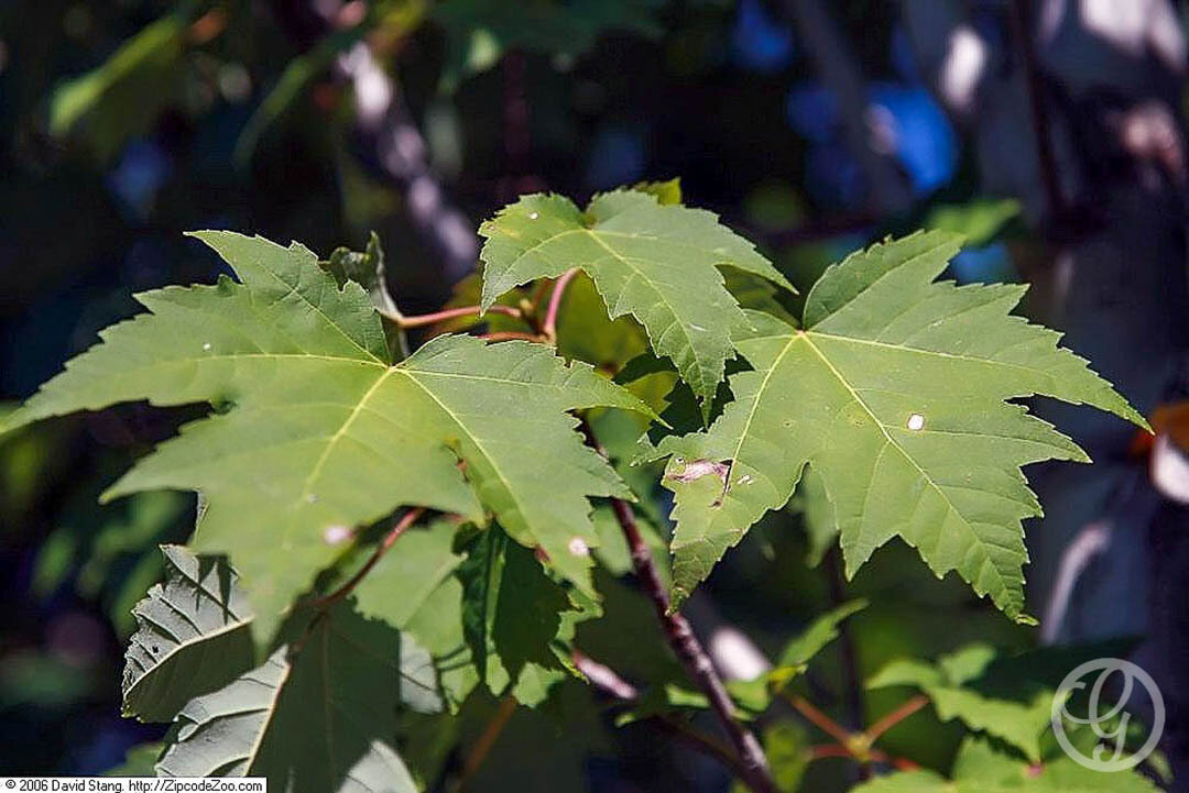 Acer, Bowhall Maple Tree