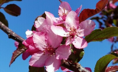 Royal Raindrops® Crabapple Tree
