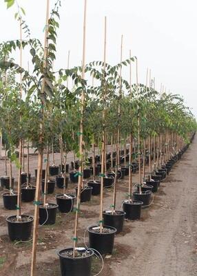 Village Green™ Zelkova Tree