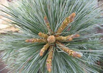 Vanderwolf Pine Tree