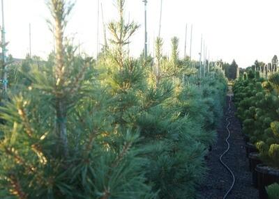 Southwestern White Pine Tree