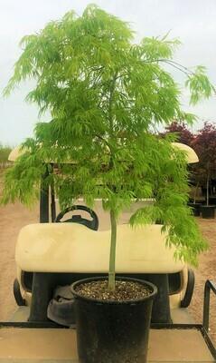 Viridis Japanese Maple