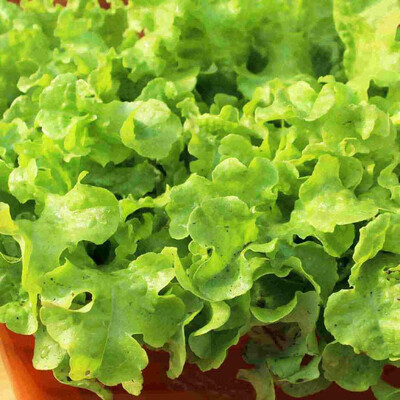 Lettuce Grand Rapids Seed Tape