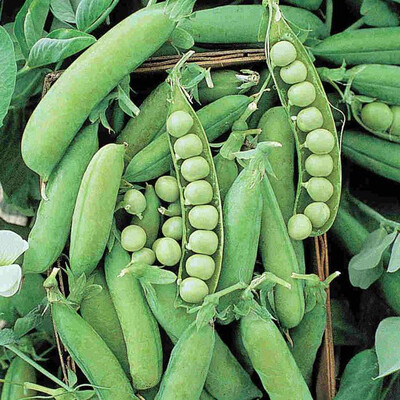 Peas Heirloom Alaska