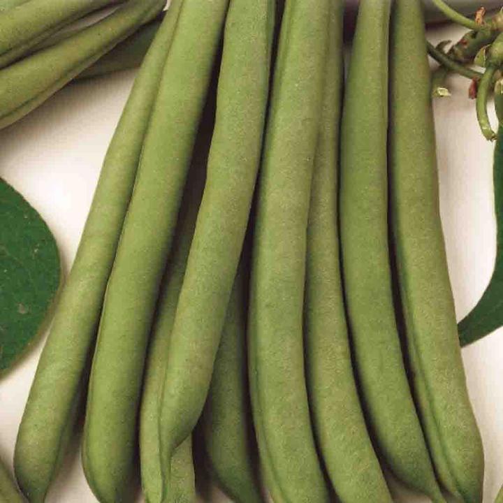 Beans Stringless Green Pod