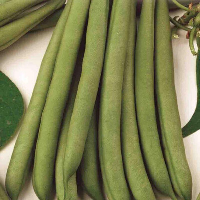 Beans Stringless Green Pod