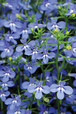 Lobelia Hot Blue Water