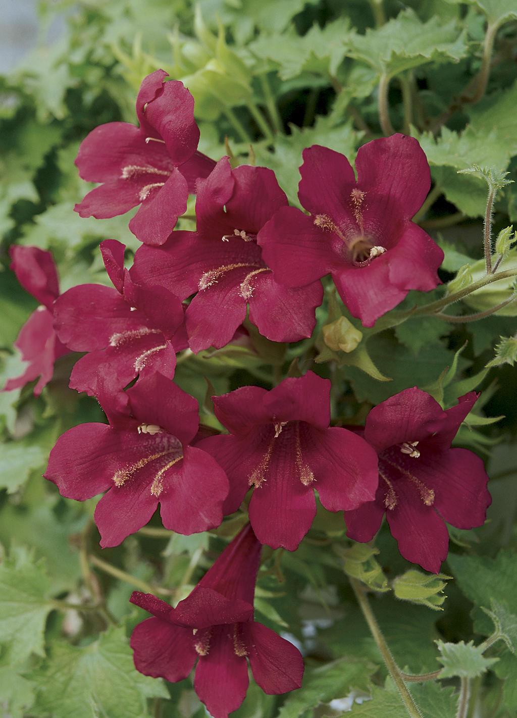 Lophospermum Wine Red