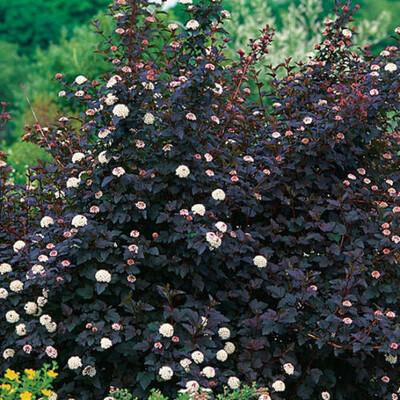 Ninebark Diablo (Physocarpus) 3G