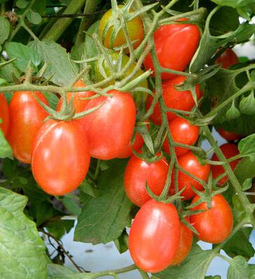Tomato Grape Cluster