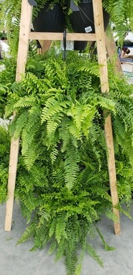 Boston Fern hanging baskets