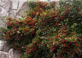Red Sprite Winterberry Ilex