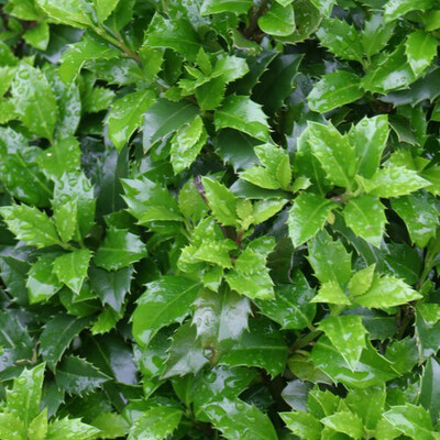 Proven Winners Castle Wall Holly