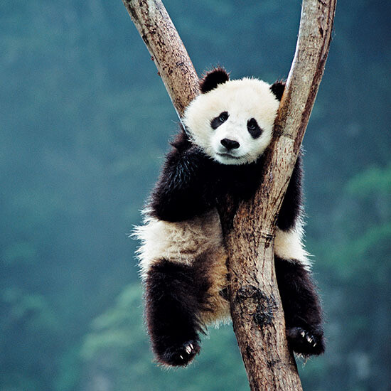 "CARTE DOUBLE PHOTO ""PANDA"""