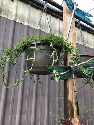 St. Augustine Grass Hanging Basket