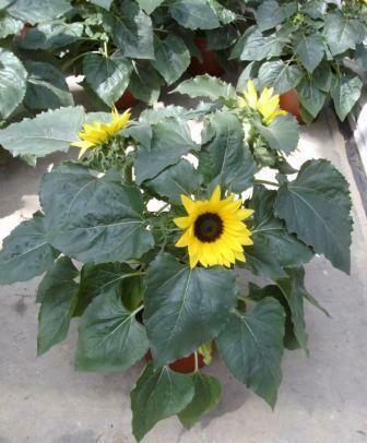 Sonnenblumen 3er