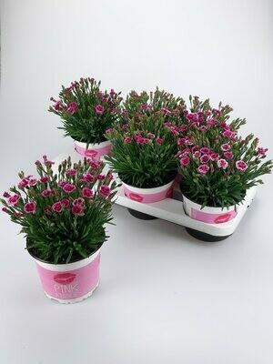 Dianthus Pink Kisses set van 3 stuks