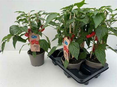 Paprikaplant rood pot 14cm h 45cm