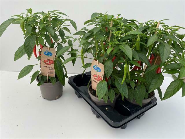 Peperplant rood pot14cm h45cm
