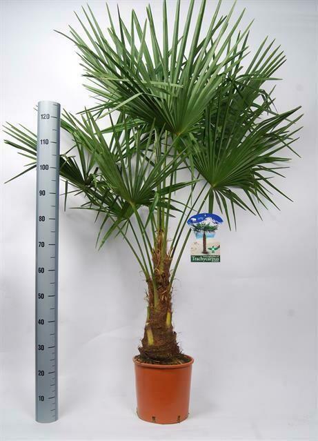 Trachycarpus Fortunei pot 40cm