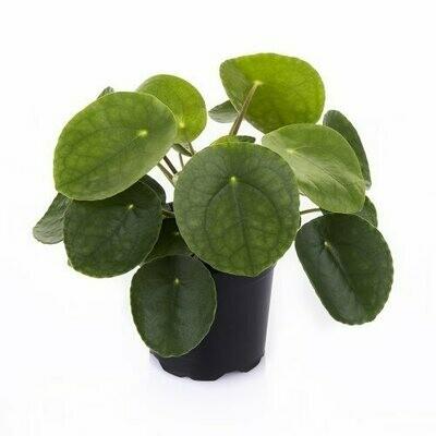 Pannekoekenplant(Pilea) pot 12cm
