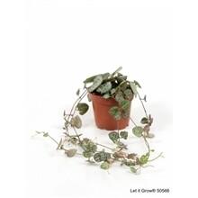 Ceropegia(lantaarnplantje) pot 9cm