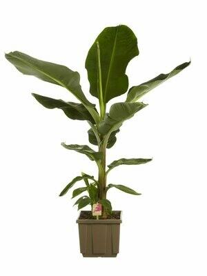 Musa banaan Hoogte 1.6m
