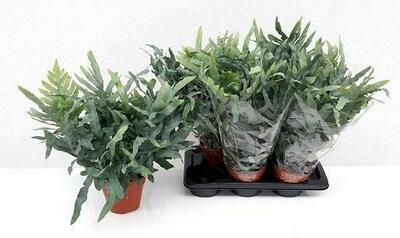 Phlebonium varen pot 17cm dia plant 40cm