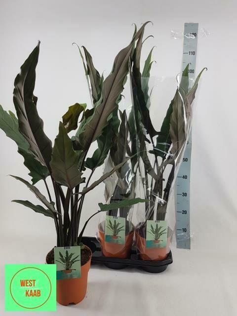 Alocasia Lauterbachiana pot 19cm