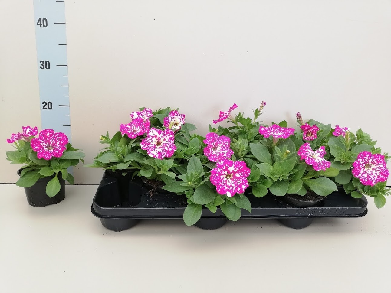 Surfinia Rosewit set van 4 pot 10.5cm