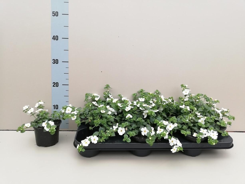 Bacopa wit set van 4 pot 10.5cm