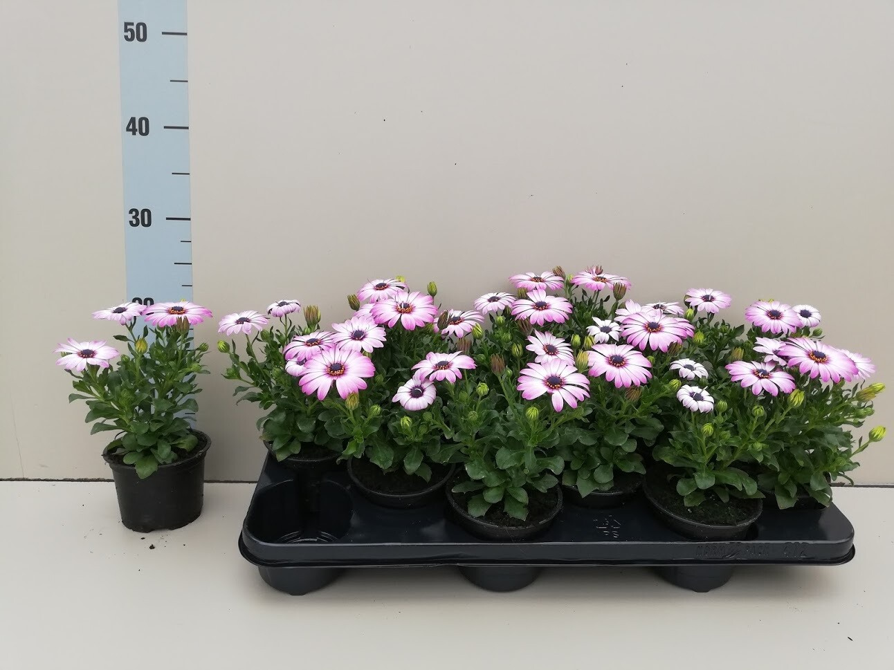 Osteospermum-Wonderplant rose