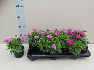 Osteospermum wonderplant paars