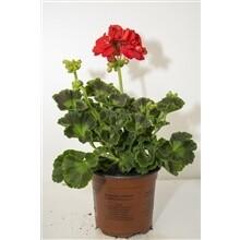 Geranium rood staand pot 10.5cm