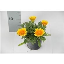 Gazania Oranje  pot 10.5cm