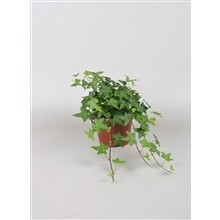 Klimop groen pot 13cm