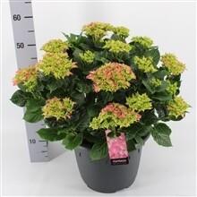 Tuinhortensia Rose groot pot 32cm dia 65cm