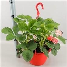 Aardbeiplant in hangpot dia 21cm