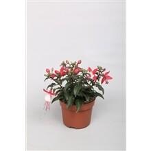 Fuchsia pot 10.5cm h 20 cm set van 3
