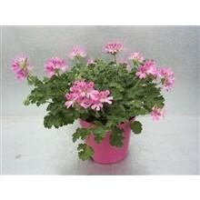 Geranium geurend pot 13cm h 25cm