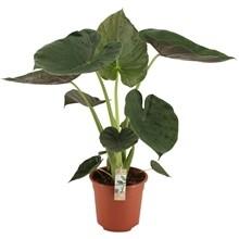 Alocasia Wentii pot 24cm h 90cm