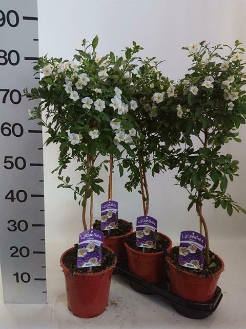 Solanum op stam wit pot19cm h 75 cm