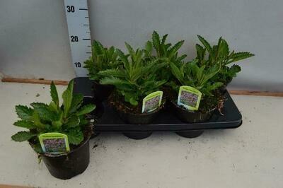 Verbena bonariensis pot 15cm(ijzerkruid)