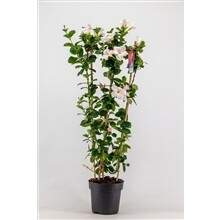 Mandeville wit groot hoogte 1m pot 21cm