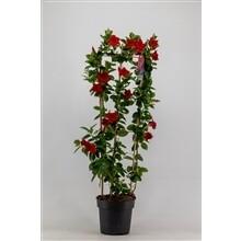 Mandeville Rood groot hoogte 1m pot 21cm