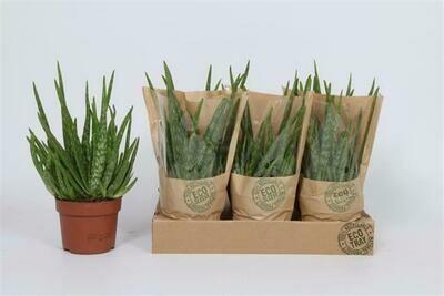 Aloe Vera pot 12 cm h 30cm