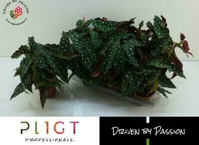 Begonia Whitii Stipplant pot15cm h 40 cm