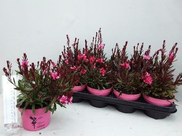 Gaura Pink pot 14cm h 30cm